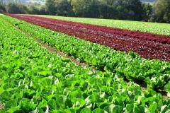 Salatfeld2